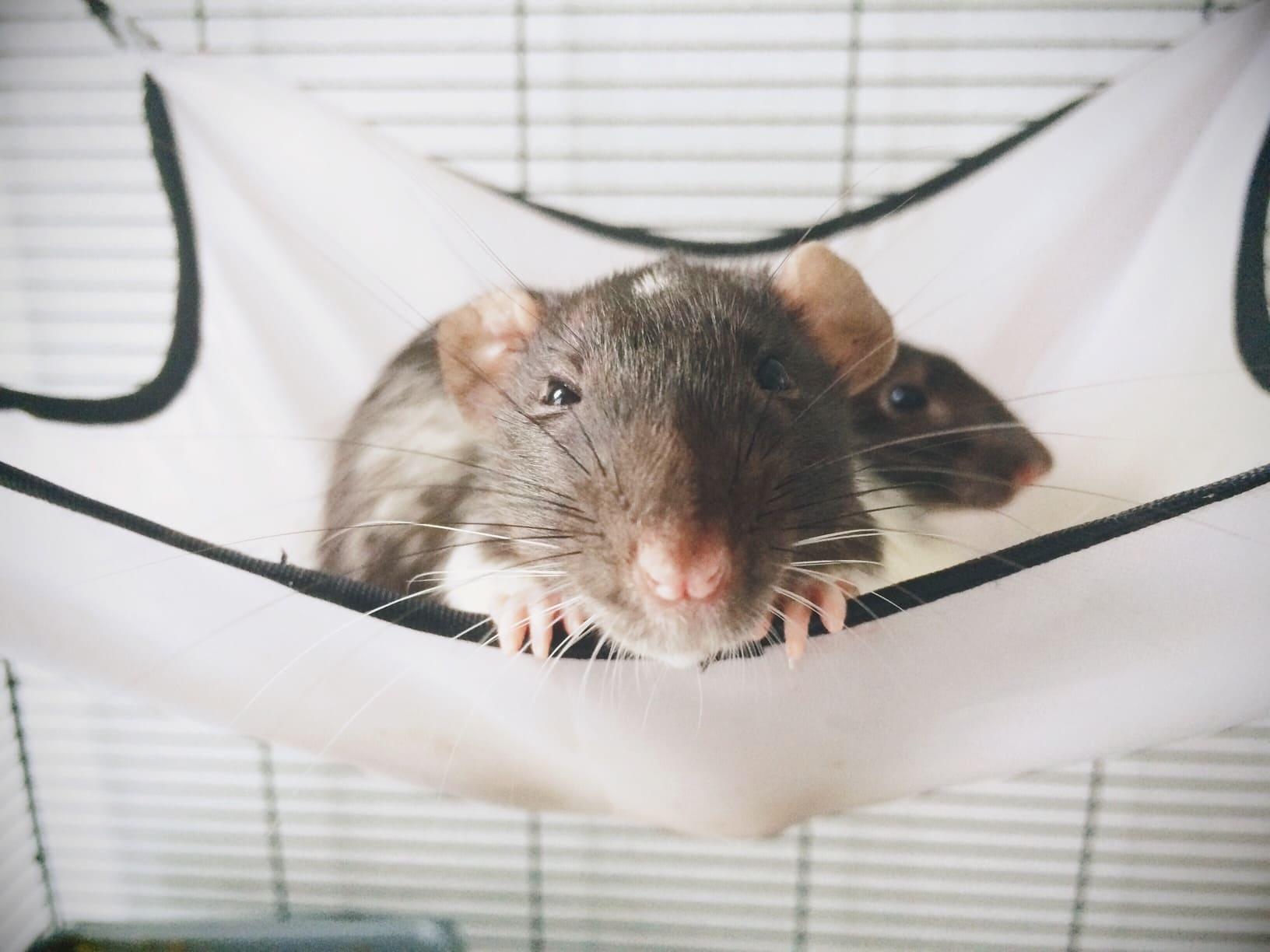 Услуги Крысы фото