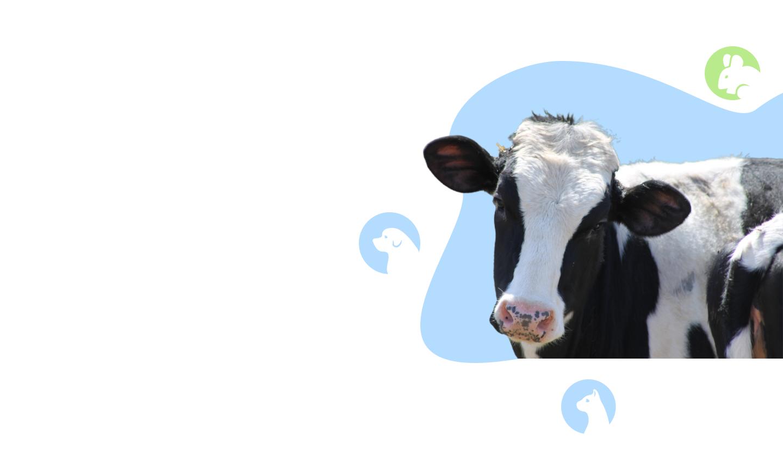 Коровы фото