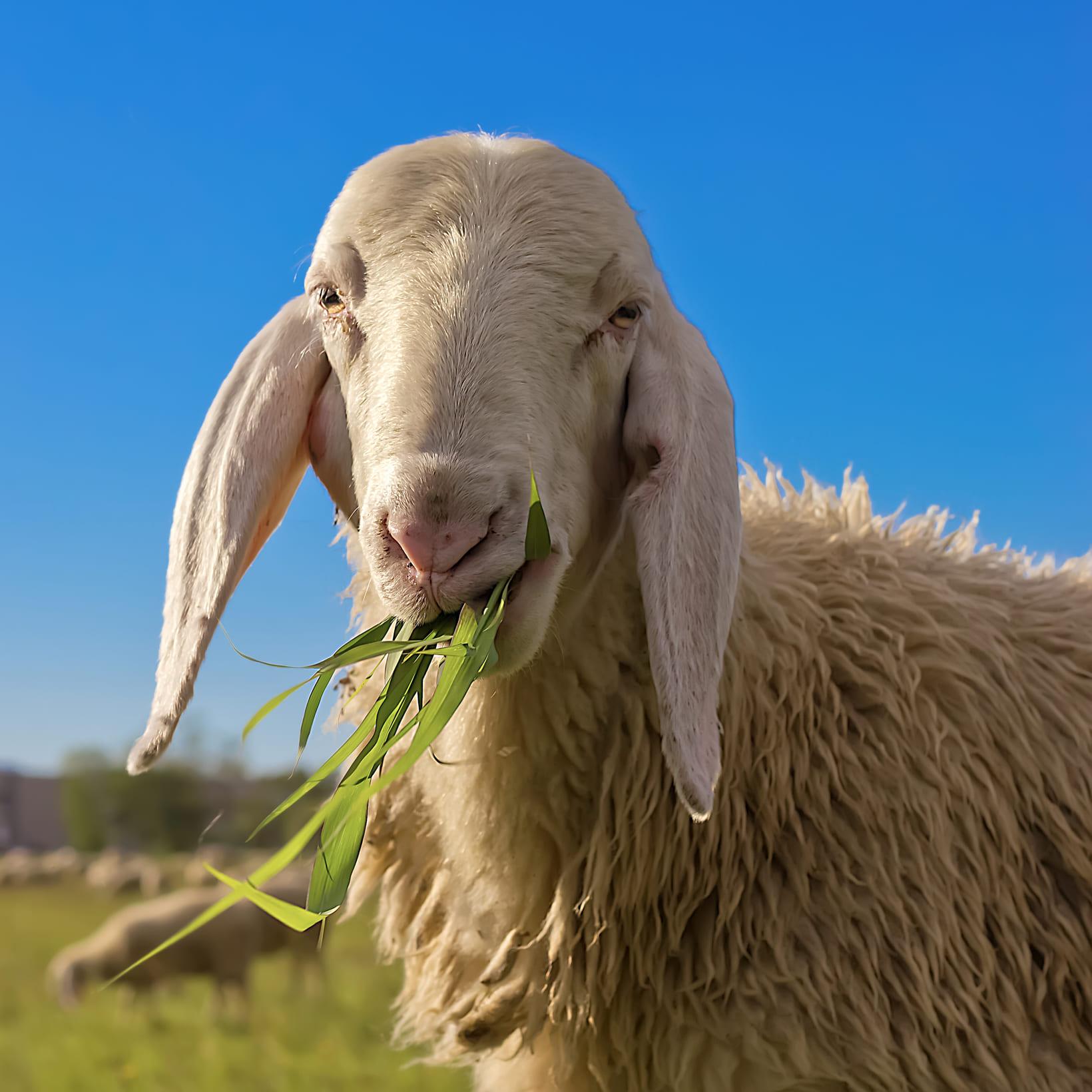 Услуги Овцы фото